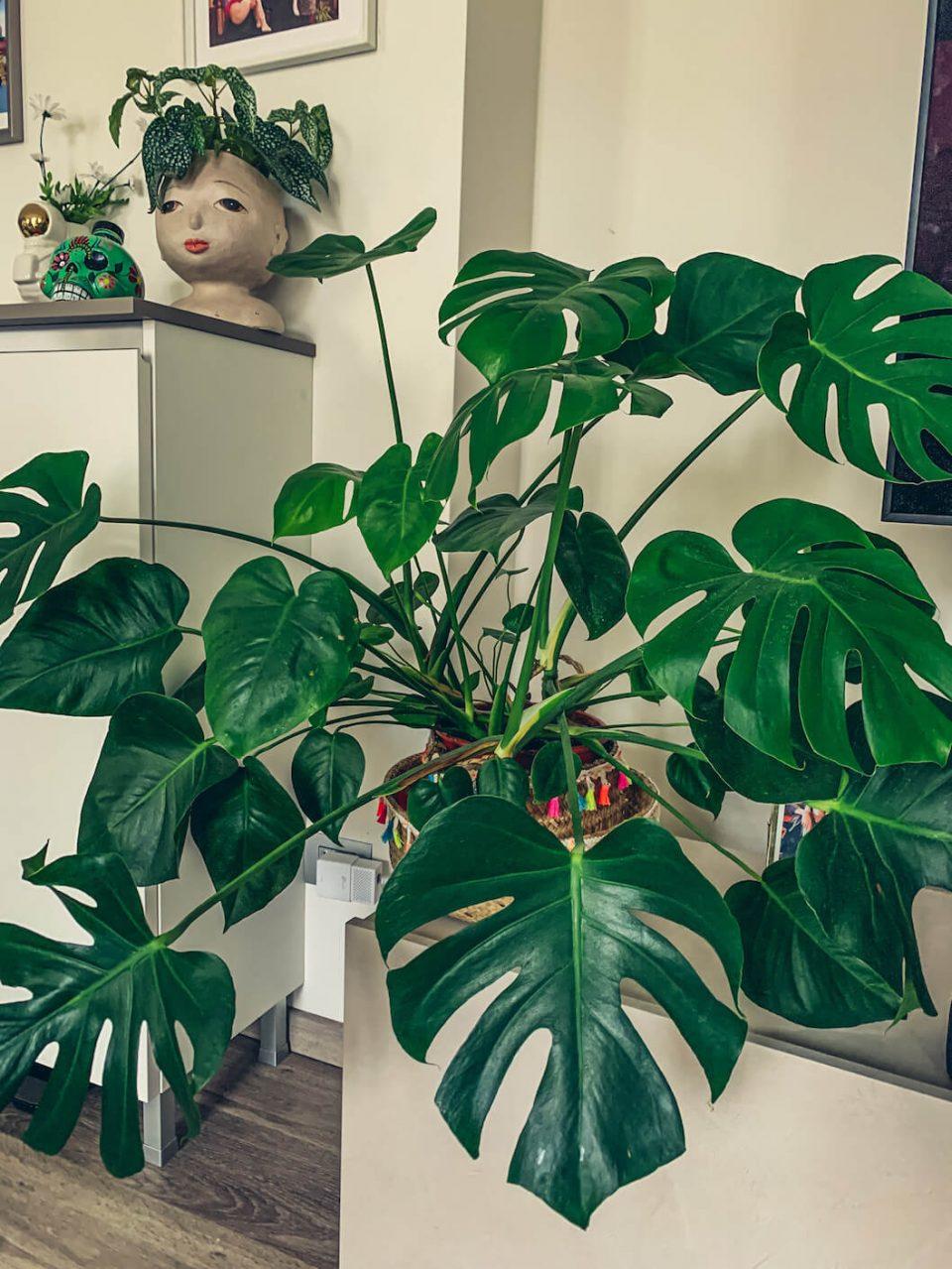 piante da appartamento facili da curare monstera deliciosa
